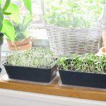 Kiemgroente in plastic bakjes kweken