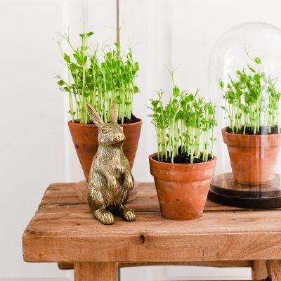 Pea shoots kweken op 2 manieren: met & zonder potgrond