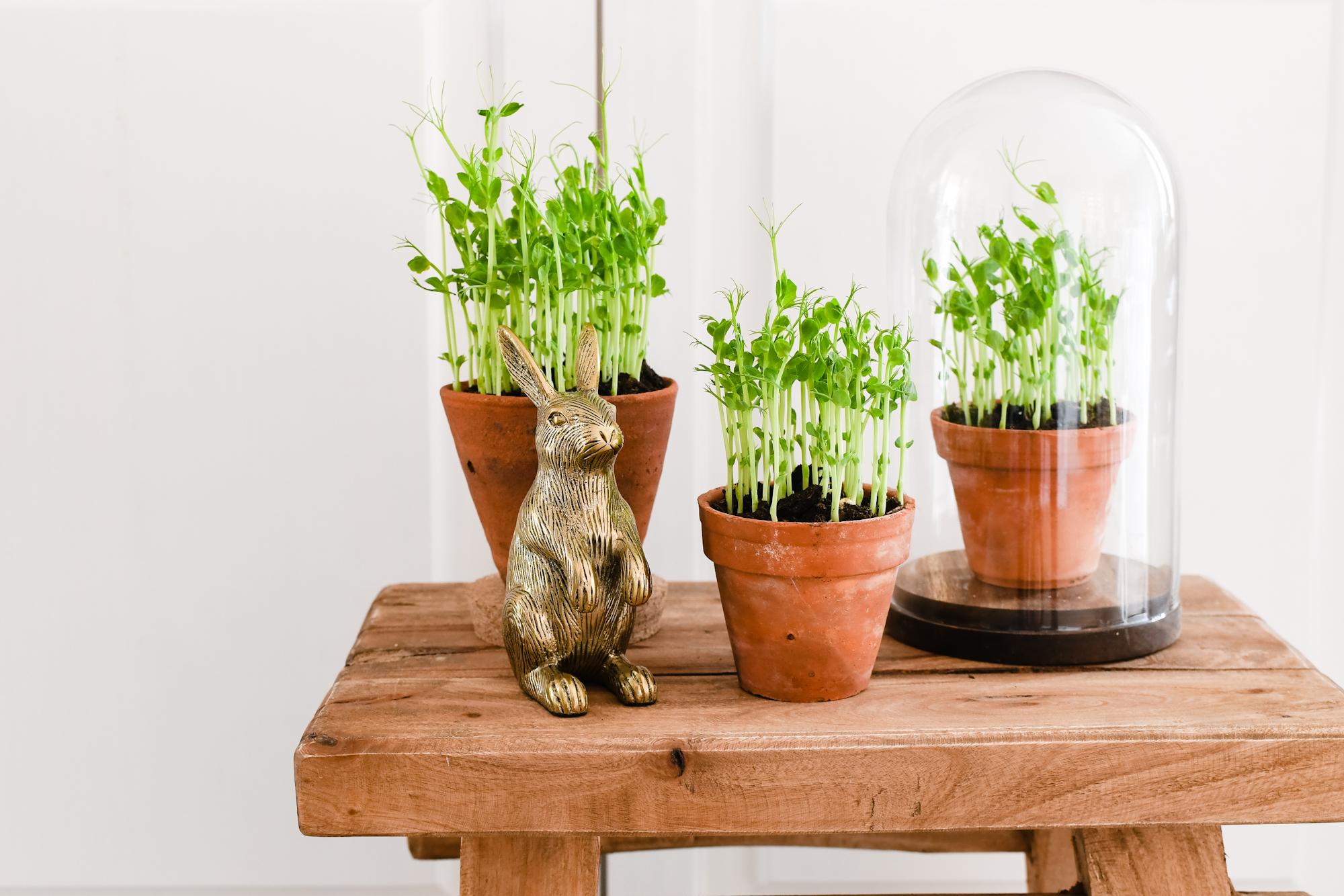 Erwtenscheutjes oftewel pea shoots kweken binnen op de vensterbank
