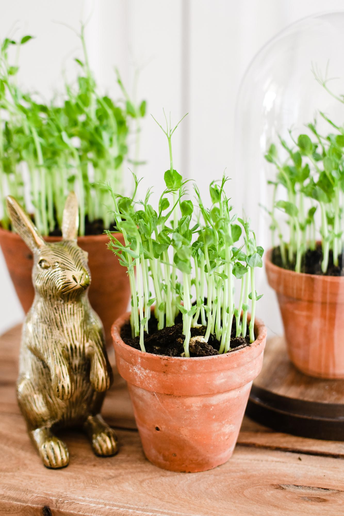 pea shoots / erwtenscheuten kweken binnen