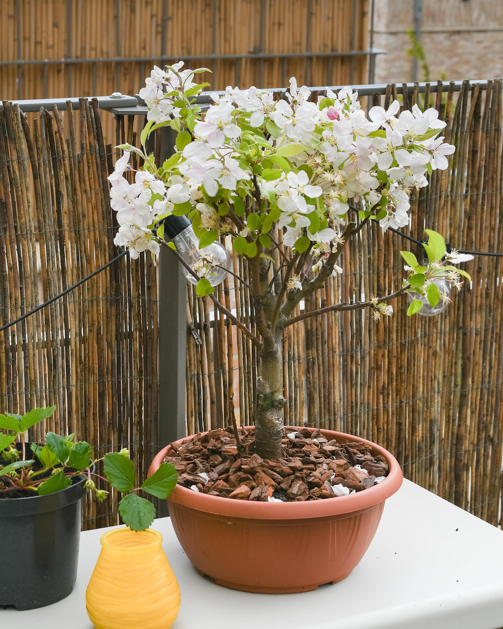 Fruitboom voor moestuin in bakken en potten