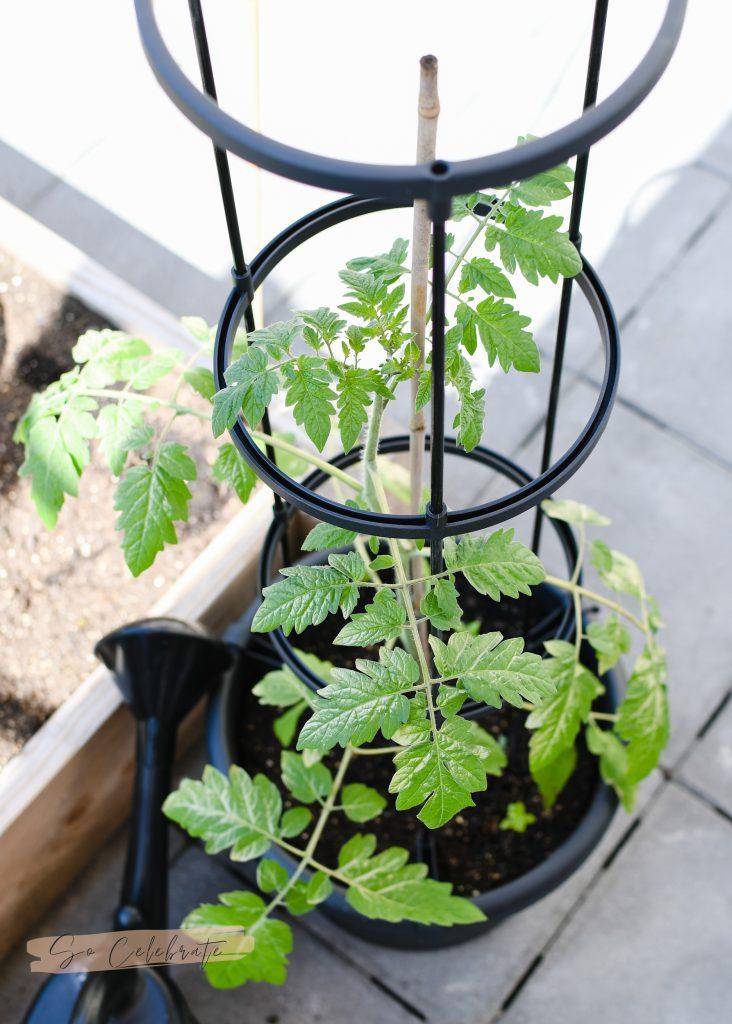 Tomatenpot voor moestuin in bakken en potten